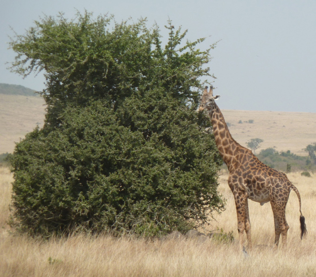 Giraffe Grazing from Acacia Tree